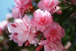 Enfermedades y tratamientos del Laurel rosa