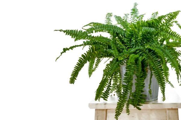 Planta Helecho de Boston para absorber la humedad en interiores.jpg