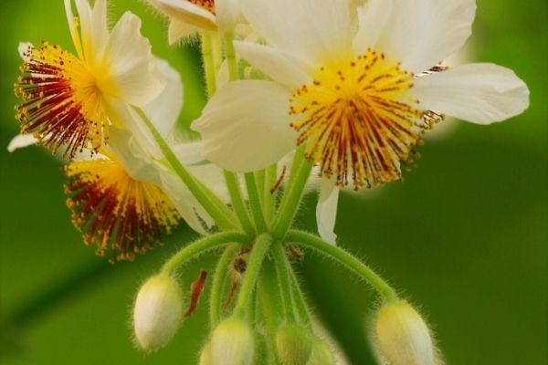 Planta Sparmannia africana para eliminar la humedad en interiores.jpg