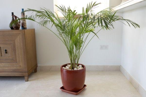 Planta palma de bambú  para absorber la humedad de la casa.jpg